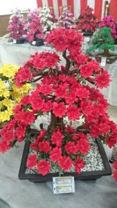 ①つつじの盆栽