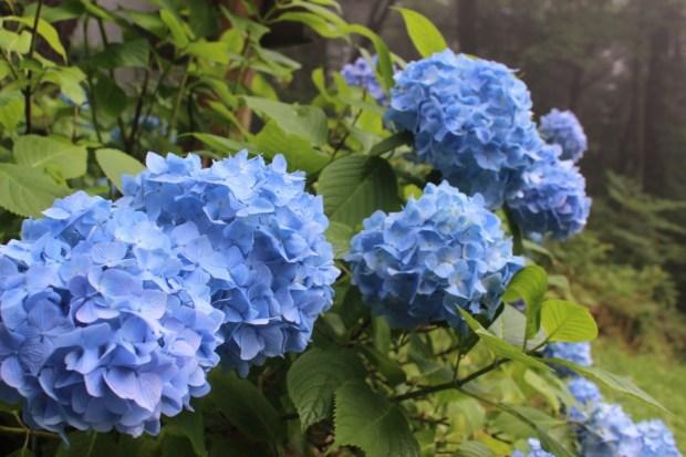 (7/12現在)田束山アジサイ園の開花状況について