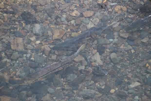 南三陸の「秋鮭」
