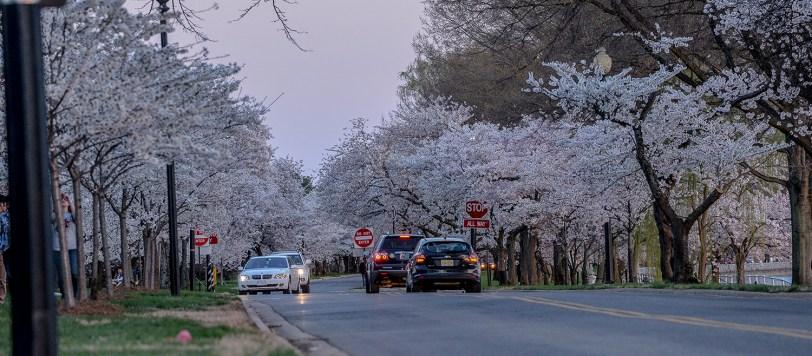 The Cherry Blossom Festival