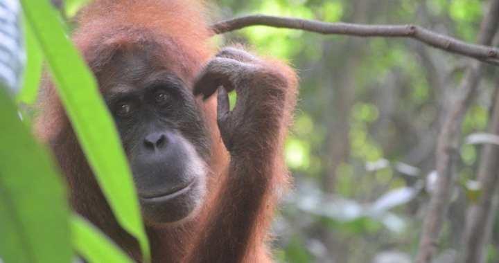 Orang oetans spotten op Sumatra | Wat je moet weten