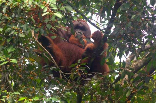 orang oetans op sumatra