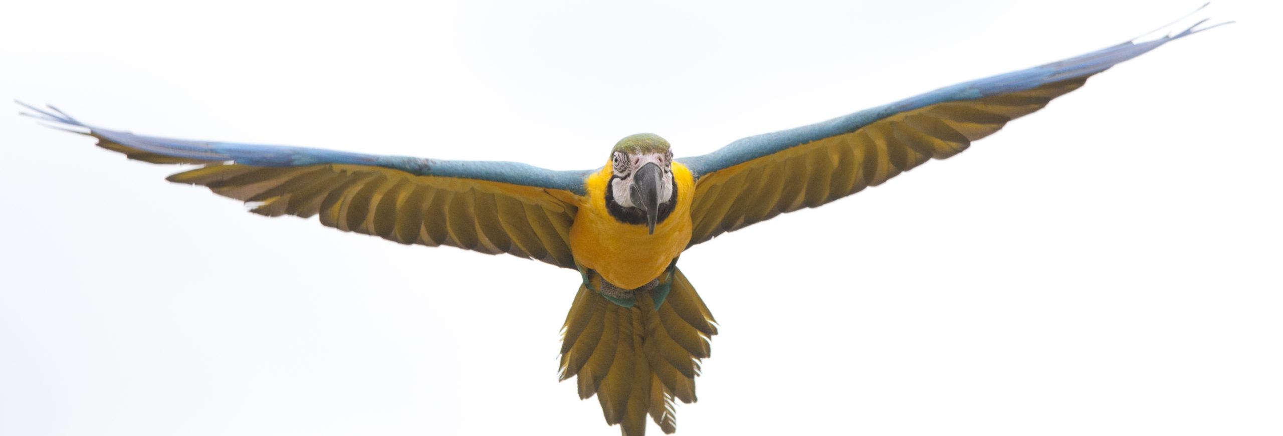 Blue & Gold Macaw in flight on white background