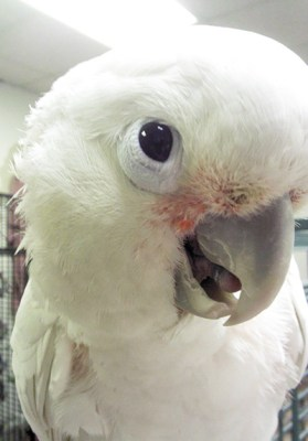 Bizzy, Goffin's Cockatoo