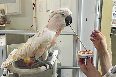 Harpo, Moluccan Cockatoo, creating an abstract painting using his beak to hold the brush