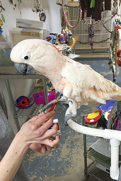 Harpo, Moluccan Cockatoo, creating an abstract painting using his foot to hold the brush