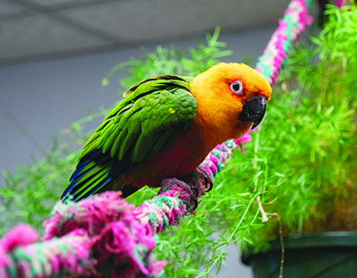 A Jenday Conure parrot sitting on a colorful rope perch with green plant in the background. Rowdy came to MAARS when his caretaker became ill.