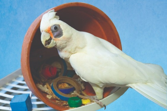 A Bare-Eyed Cockatoo sitting at the edge of a flower pot on its side with parrot toys inside