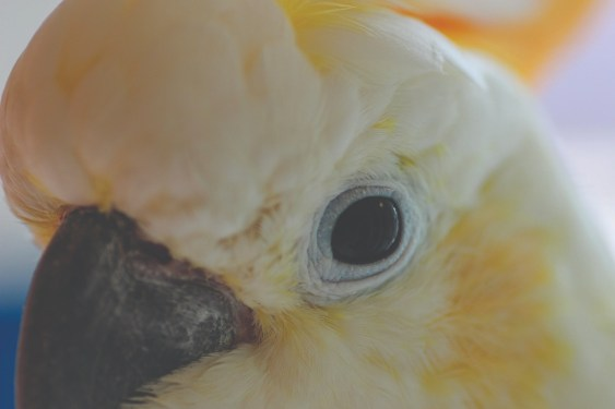 An extreme close-up of the face of a Citron Cockatoo