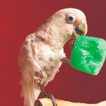 Picture of a small, white cockatoo, holding a chewed-up piece of a foam toy in his beak