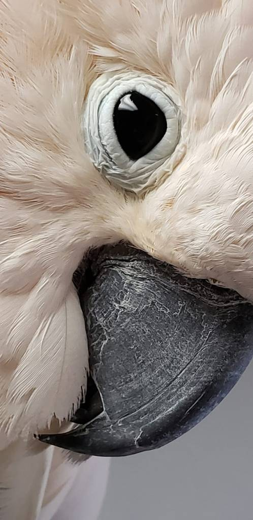 An extreme close-up of a Moluccan Cockatoo face, showing primarily right eye and beak. Sam was surrendered to MAARS after having been abandoned at a vet clinic.