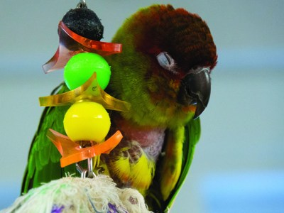 NanSun Conure, perched next to a bead toy, sleeping.