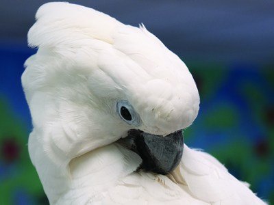 Close-up of an Umbrella Cockatoo, preening his back