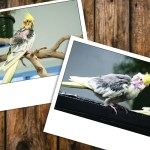 Two Polaroid-style photos of cockatiels on a wood paneling background.