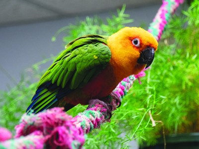 A Jenday Conure perched on a rope perch with a tree in the background
