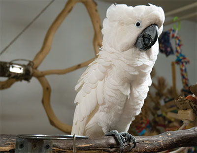 An Umbrella Cockatoo on a wood perch with several perches and toys in the background