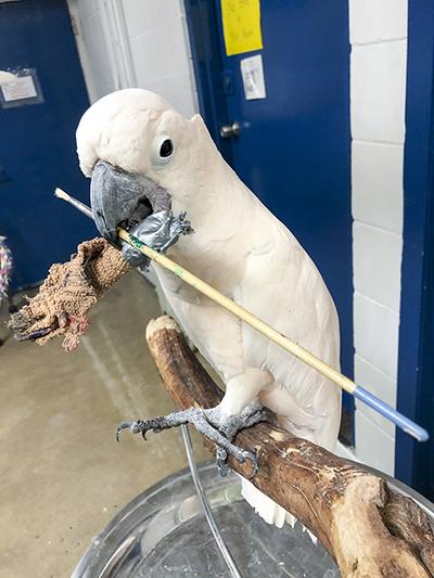 Harry, Moluccan Cockatoo, holding a broken paint brush in his beak