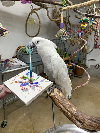 Winston, Umbrella Cockatoo, standing on a perch stand, holding a paint brush in his beak using it to paint on a canvas