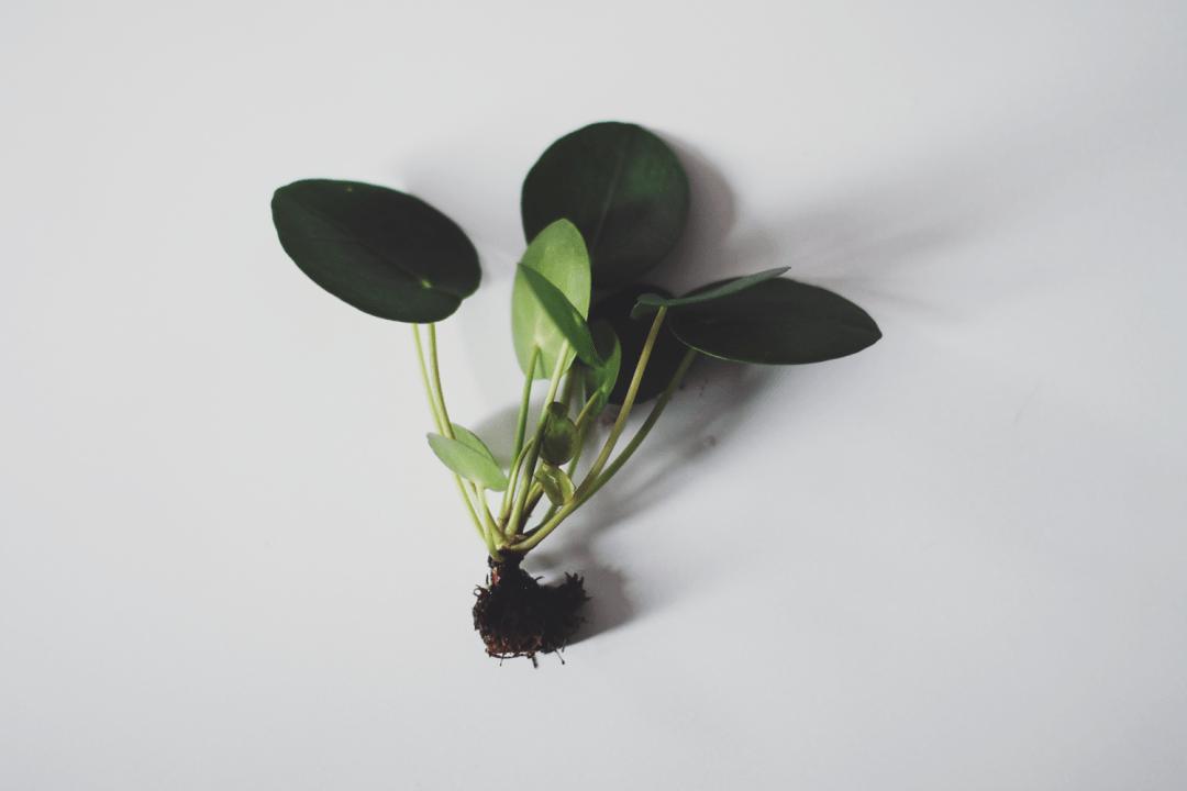 pannenkoekplant stekjes