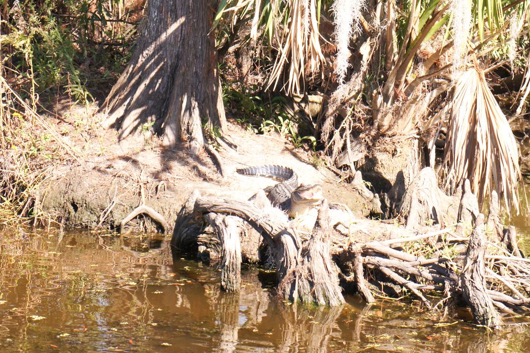 Louisiane Nouvelle Orleans alligator bayou
