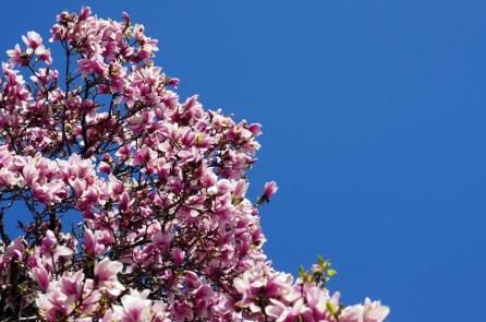 Le printemps à Boston - magnolia rose