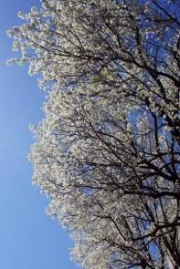 Le printemps à Boston - fleurs blanches