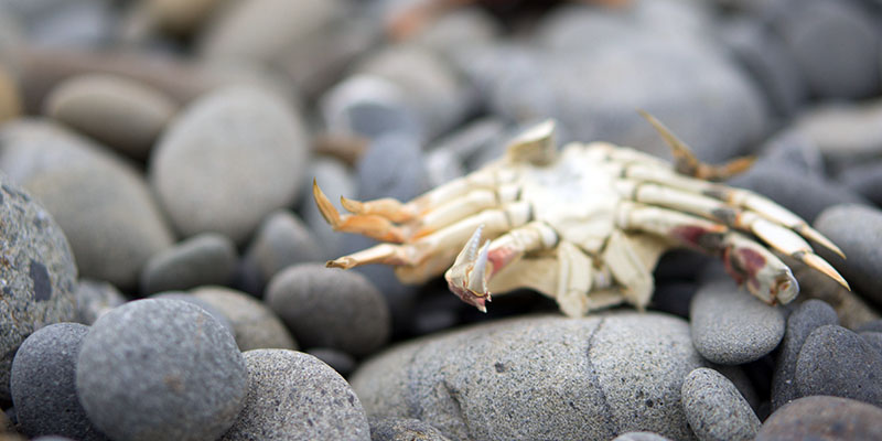 Ruby Beach - crabe - Olympic National Park