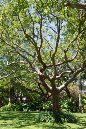 Arbre - Little White House of Key West - Floride 1