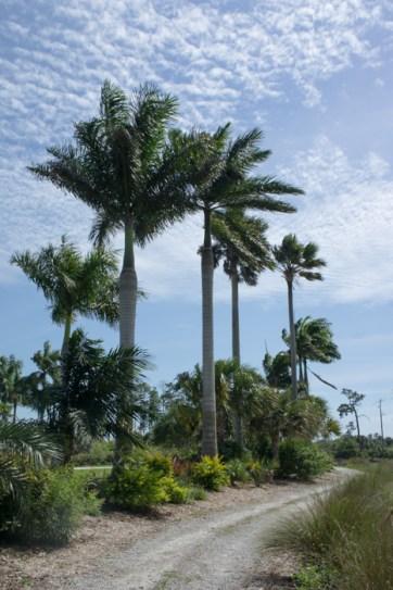 Palmiers - Naples Botanical Garden - Floride