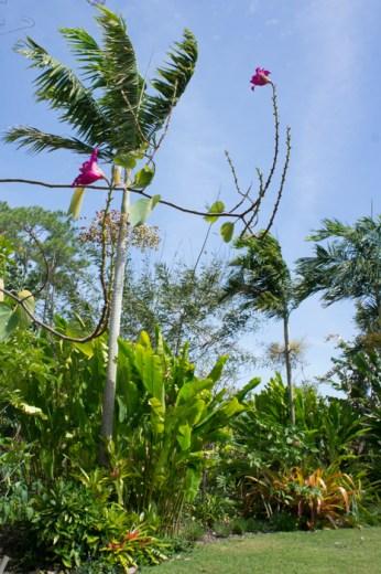 Fleur rose et arbre - Naples Botanical Garden - Floride