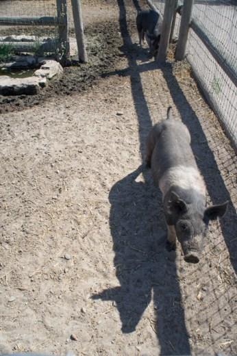 Le cochon Purisima Mission Californie