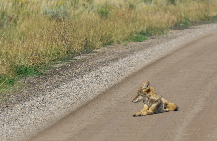 Black Canyon of the Gunnison - National Park - Colorado - road trip - coyote sur la route 1