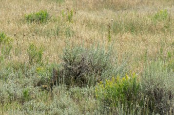 Black Canyon of the Gunnison - National Park - Colorado - road trip - coyote