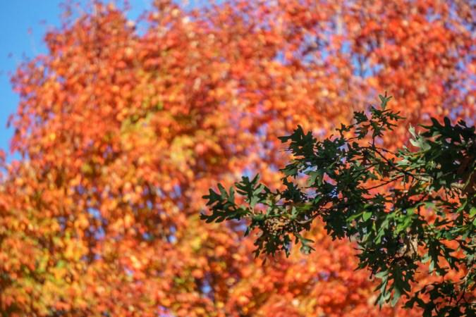 Mount Auburn couleurs des feuilles de l'automne