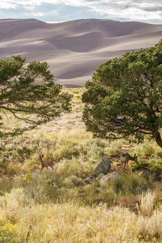 Great Sand Dunes et les biches