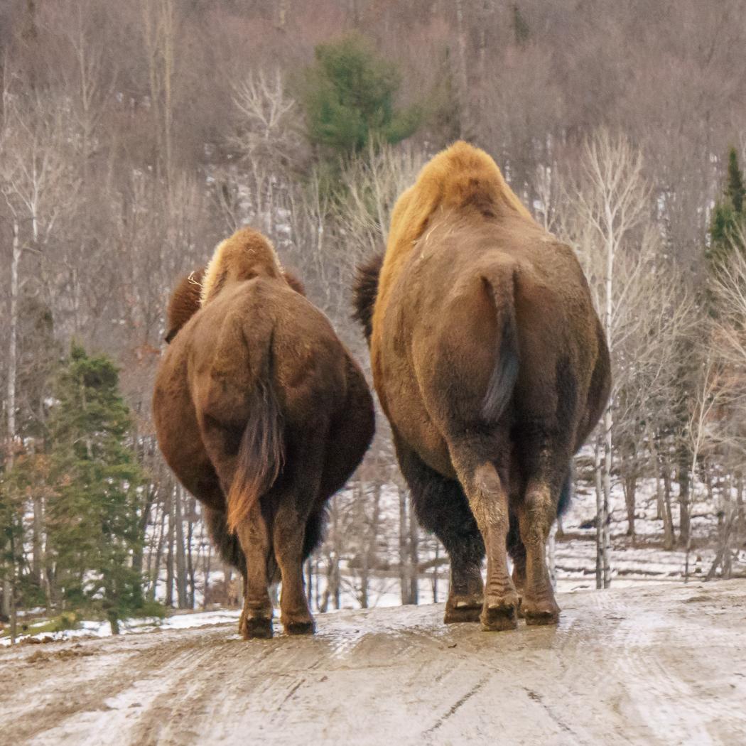 parc omega - bison| www.maathiildee.com