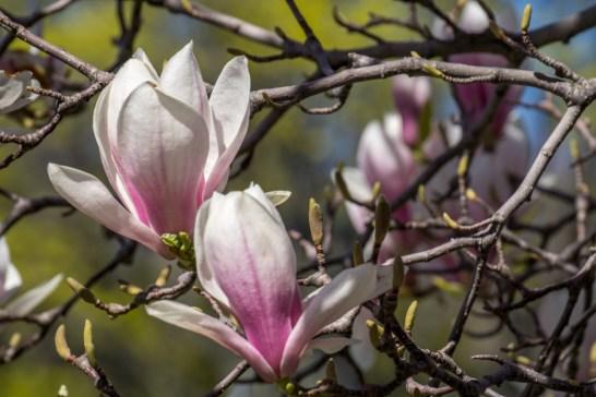 Printemps Boston floraison-11