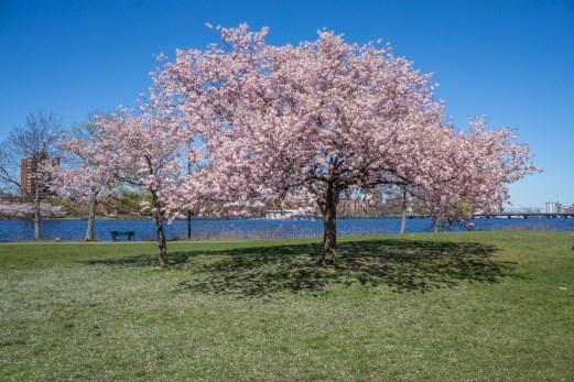 Printemps Boston floraison-3