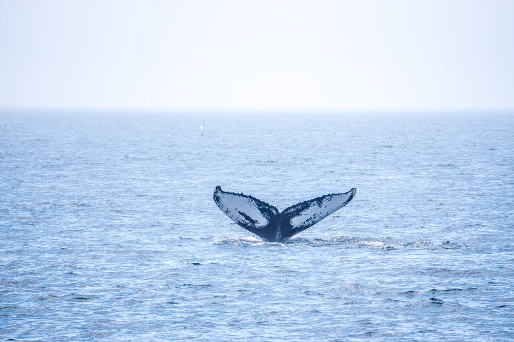 Voir les baleines a Boston-3