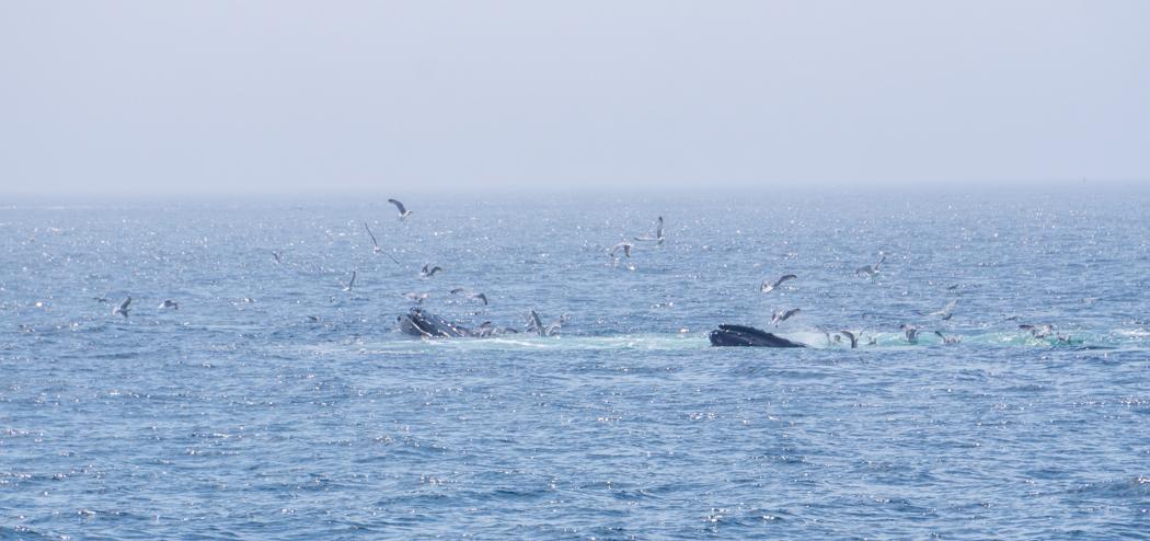 Voir les baleines a Boston-9