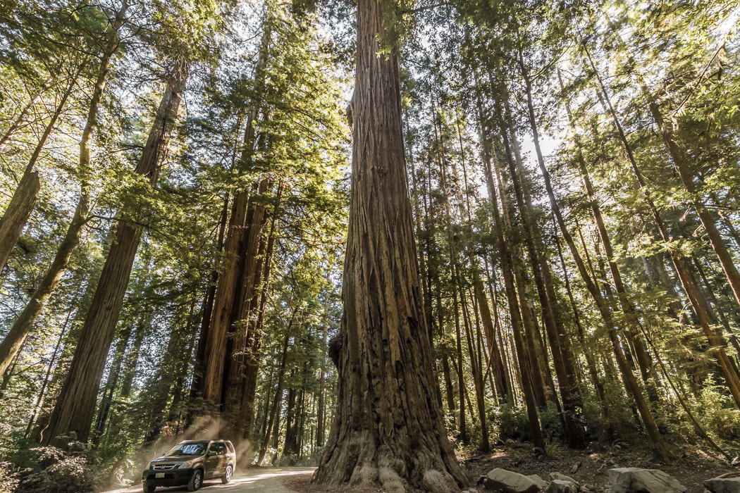 redwood-sequoia-california-1