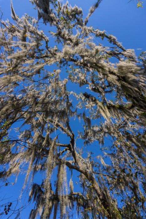 New orleans spanish beard trees le blog de mathilde 1