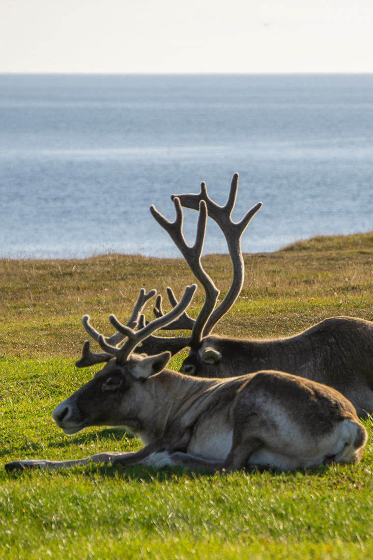 Caribous newfoundland terre neuve 1