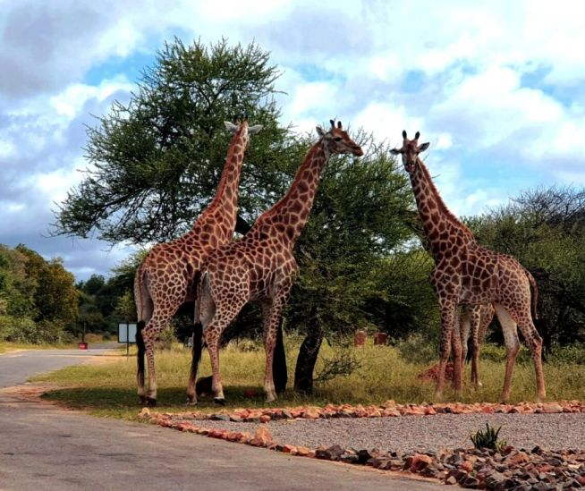 Spotted! A tower of giraffe's sticking a pose.