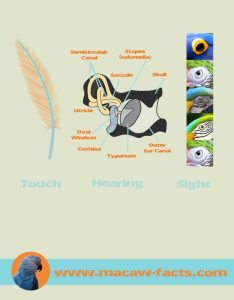 Senses in macaws species
