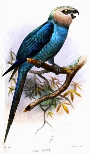 History, Spix Macaw pet pets