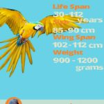 blue and gold macaw lifespan weight wingspan