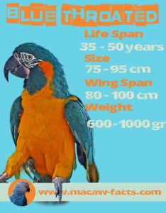 blue throated macaw life span wing span size weight