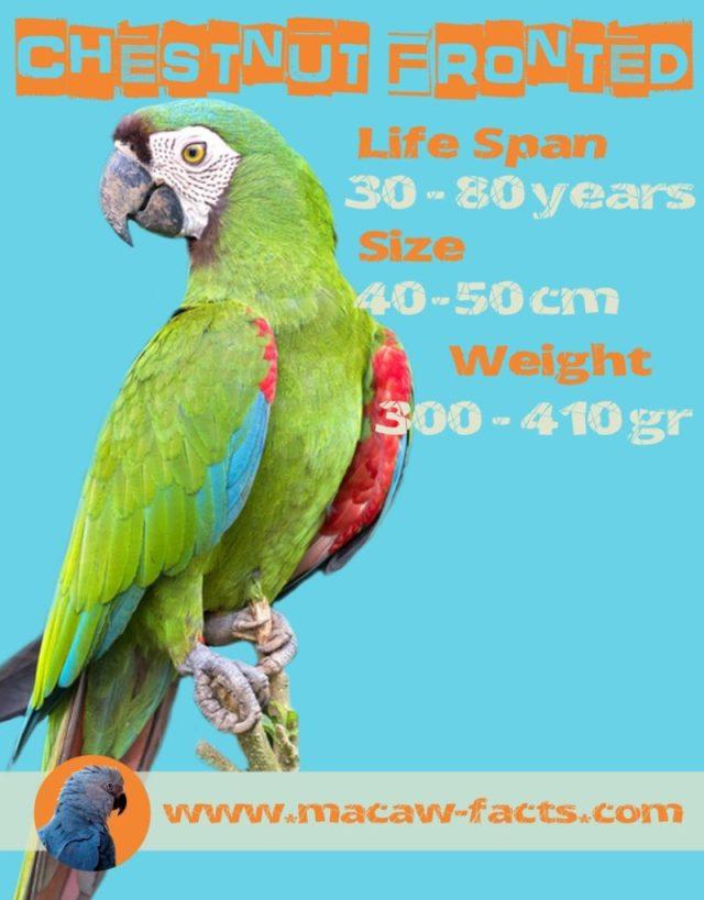 severe macaw lifespan size weight facts Ara severus