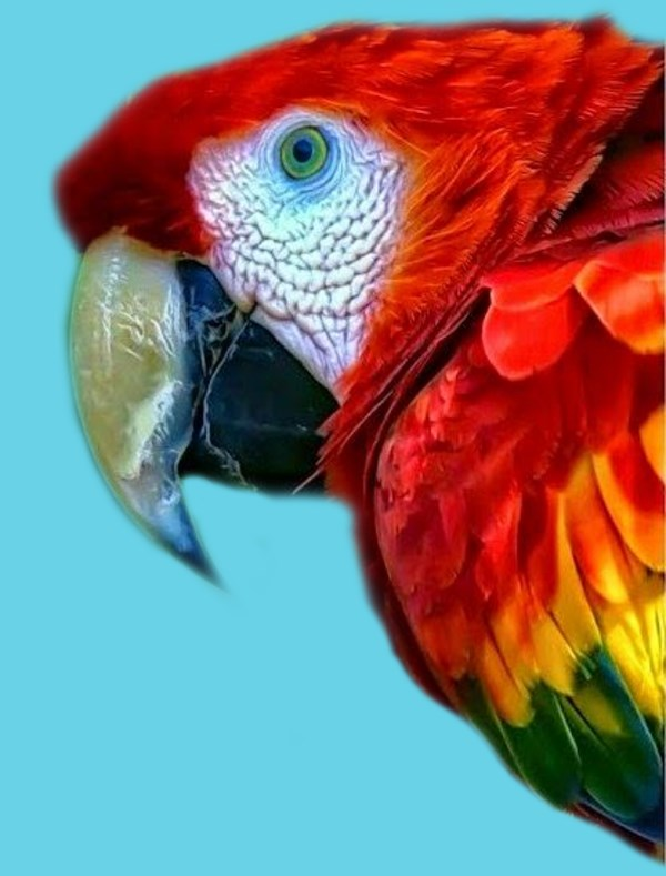 Scarlet Macaw Red Macaw
